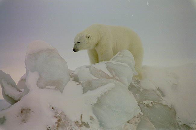 Экспедиция «Полярное кольцо» идет туда, туда, где правят бал белые медведи и ледяной холод.